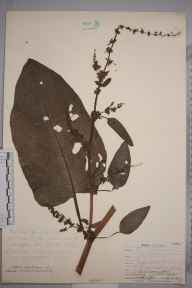 Rumex obtusifolius herbarium specimen from Norwood, VC17 Surrey in 1907 by William Henry Griffin.