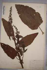 Rumex obtusifolius var. sylvestris herbarium specimen from Tunbridge Wells, VC14 East Sussex in 1843 by Mr Frederick Townsend.