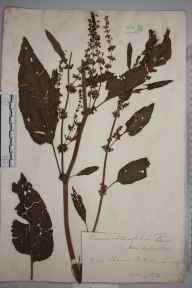 Rumex obtusifolius var. sylvestris herbarium specimen from Putney, VC17 Surrey in 1872 by Mr William Hadden Beeby.