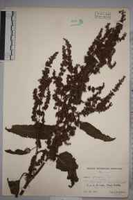 Rumex obtusifolius herbarium specimen from Corfe, VC5 South Somerset in 1942 by Ambrose Ellis Aspinwall Dunston.