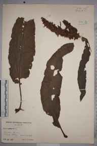 Rumex crispus herbarium specimen from Isles of Scilly,Tresco, VC1 West Cornwall in 1939 by Mr Job Edward Lousley.