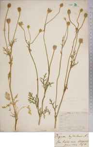 Papaver hybridum herbarium specimen from Steephill, VC10 Isle of Wight in 1844.