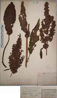 Rumex longifolius herbarium specimen from Clifton Ings, VC62 North-east Yorkshire in 1843 by Mr Henry Ibbotson.
