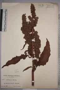 Rumex longifolius herbarium specimen from Middleton in Teesdale, VC66 County Durham in 1938 by Mr Job Edward Lousley.