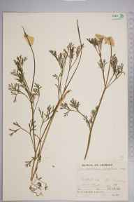 Eschscholzia  herbarium specimen from New Romney, VC15 East Kent in 1936 by Mr Job Edward Lousley.