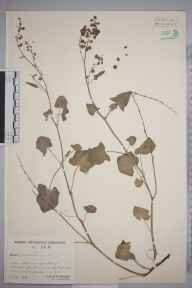 Rumex scutatus herbarium specimen from Hellifield, VC64 Mid-west Yorkshire in 1943 by James Arden Whellan.