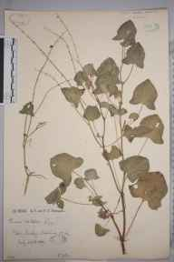 Rumex scutatus herbarium specimen from Sawley, VC64 Mid-west Yorkshire in 1889 by Rachel Ford Thompson.