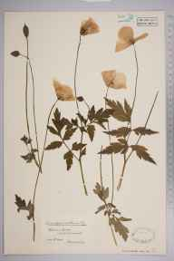 Meconopsis cambrica herbarium specimen from Cheddar Gorge, VC6 North Somerset in 1900 by Mr James Walter White.