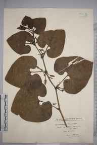 Aristolochia clematitis herbarium specimen from Godstow Nunnery, VC23 Oxfordshire in 1928 by Mr Isaac A Helsby.