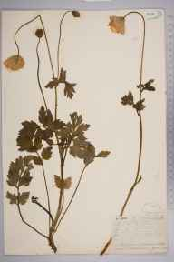 Meconopsis cambrica herbarium specimen from Cheddar Cliffs, VC6 North Somerset in 1852 by Mr Frederick Townsend.