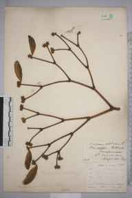 Viscum album herbarium specimen from Sellack, VC36 Herefordshire in 1904 by Rev. Augustin Ley.