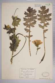 Glaucium flavum herbarium specimen from Hallen, VC34 West Gloucestershire in 1902 by Mr James Walter White.