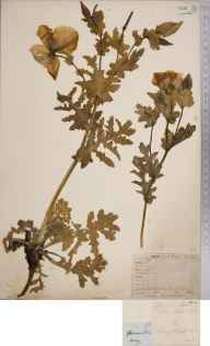 Glaucium flavum herbarium specimen from Isle of Wight, VC10 Isle of Wight.