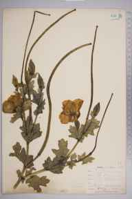 Glaucium flavum herbarium specimen from Sandwich, VC15 East Kent in 1901 by William Henry Griffin.
