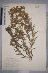 Euphorbia esula x waldsteinii = E. x pseudovirgata herbarium specimen from Chipstead, VC17 Surrey in 1924 by Mr Edward Charles Wallace.