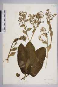 Cochlearia anglica herbarium specimen from Purfleet, VC18 South Essex in 1927 by Mr Isaac A Helsby.