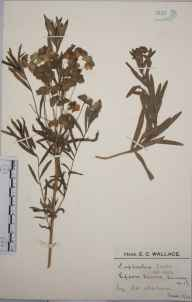 Euphorbia esula herbarium specimen from Epsom Downs, VC17 Surrey in 1924 by Mr Edward Charles Wallace.