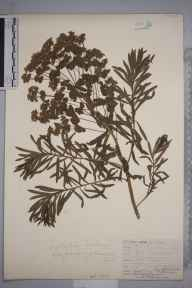 Euphorbia esula herbarium specimen from Rotherhithe, VC16 West Kent by William Henry Griffin.