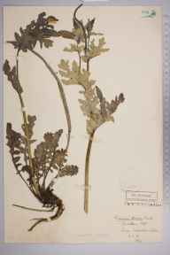 Glaucium flavum herbarium specimen from Felixstowe, VC25 East Suffolk in 1911 by Stafford Edwin Chandler.