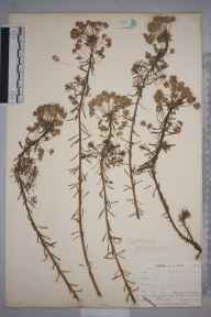Euphorbia cyparissias herbarium specimen from Ponsanooth, VC1 West Cornwall in 1900 by Mr Frederick Hamilton Davey.