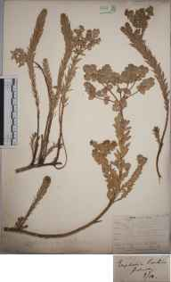Euphorbia paralias herbarium specimen from Guernsey, VC113 Channel Islands in 1850 by Mr Allan Octavian Hume.