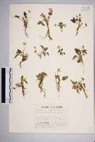Viola hirta subsp. calcarea herbarium specimen from Box Hill, VC17 Surrey in 1930 by Richard Barker Ullman.