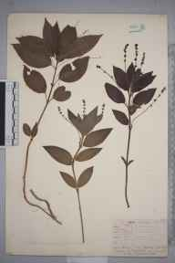 Mercurialis perennis herbarium specimen from Steephill, VC10 Isle of Wight in 1838 by A Hamburgh.