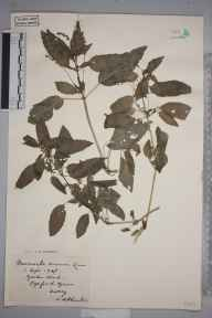 Mercurialis annua herbarium specimen from Pyrford, VC17 Surrey in 1903 by S A Chambers.