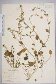Cochlearia anglica herbarium specimen from Glencaple, VC72 Dumfriesshire in 1945 by D Cunningham.