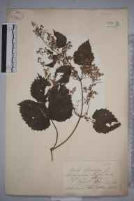 Humulus lupulus herbarium specimen from Virginia Water, VC17 Surrey in 1872 by Mrs Eliza Catherine White.