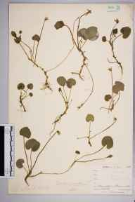 Viola palustris herbarium specimen from Ponsanooth, VC1 West Cornwall in 1900 by Mr Frederick Hamilton Davey.
