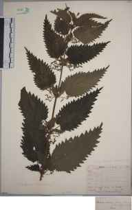 Urtica dioica herbarium specimen from Lewes, VC14 East Sussex by Joseph Woods.