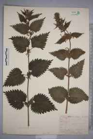 Urtica dioica herbarium specimen from Twyford, VC55 Leicestershire in 1843 by Mr Frederick Townsend.