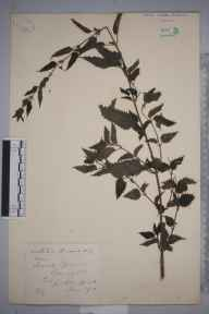 Urtica dioica herbarium specimen from Bangor, VC49 Caernarvonshire in 1891 by Mr John Edwards Griffith.