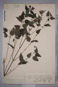 Urtica dioica herbarium specimen from Belmont, VC36 Herefordshire in 1890 by Rev. Augustin Ley.