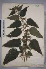 Urtica dioica herbarium specimen from Ravensbourne, VC16 West Kent in 1903 by William Henry Griffin.