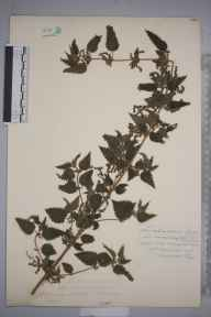 Urtica dioica var. microphylla herbarium specimen from Ross, VC36 Herefordshire in 1901 by Rev. Augustin Ley.