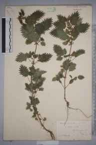 Urtica urens herbarium specimen from Littleworth, VC53 South Lincolnshire in 1883 by Mr William Hadden Beeby.