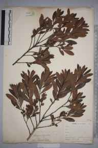 Myrica gale herbarium specimen from Trewedna Valley, VC1 West Cornwall in 1899 by Mr Allan Octavian Hume.