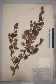 Betula pubescens herbarium specimen from Clackmannan, VC87 West Perthshire in 1876 by Tom Drummond.