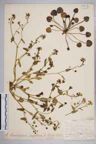 Cochlearia anglica herbarium specimen from Church Island, Menai Strait, VC52 Anglesey in 1905 by Mr Allan Octavian Hume.