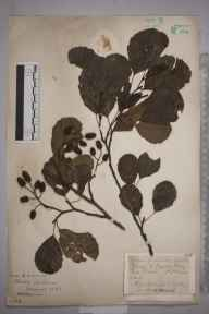 Alnus glutinosa herbarium specimen from Ashbrook, VC20 Hertfordshire in 1927 by Mr Joseph Edward Little.