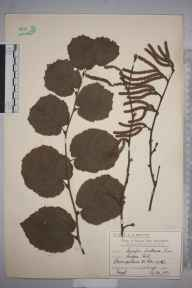 Corylus avellana herbarium specimen from Raynes Park, VC17 Surrey in 1911 by Mr Charles Edward Britton.
