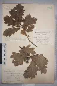 Quercus robur herbarium specimen from Malvern Wells, VC37 Worcestershire in 1887 by Mr Richard Francis Towndrow.