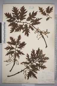 Quercus cerris herbarium specimen from Catford, VC16 West Kent in 1903 by William Henry Griffin.