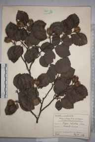 Fagus sylvatica herbarium specimen from Raynes Park, VC17 Surrey in 1914 by Mr Charles Edward Britton.