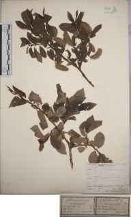 Salix pentandra herbarium specimen from Rescobie Loch, VC90 Angus in 1844 by Mr William Gardiner.