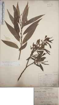 Salix fragilis herbarium specimen from Malvern, VC37 Worcestershire in 1894 by Mr Richard Francis Towndrow.