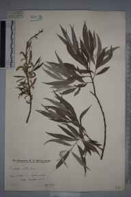 Salix alba herbarium specimen from Balcombe, VC14 East Sussex in 1924 by Mr Edward Charles Wallace.