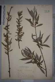 Salix alba herbarium specimen from Saint Ippolyts, VC20 Hertfordshire in 1921 by Mr Joseph Edward Little.